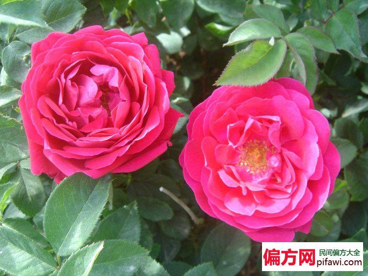 玫瑰花可以治痛经