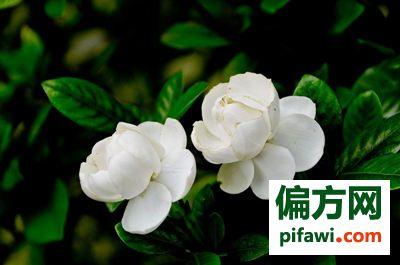 栀子花怎么养 栀子花的养殖方法