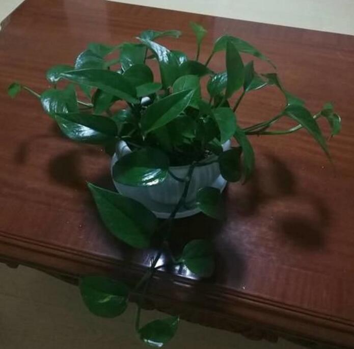 养好绿萝超简单,土里埋着东西,绿萝疯长,叶子超绿