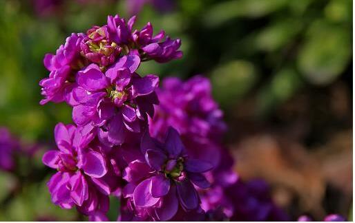 紫罗兰栽培到家中 紫罗兰的养殖方法及养护