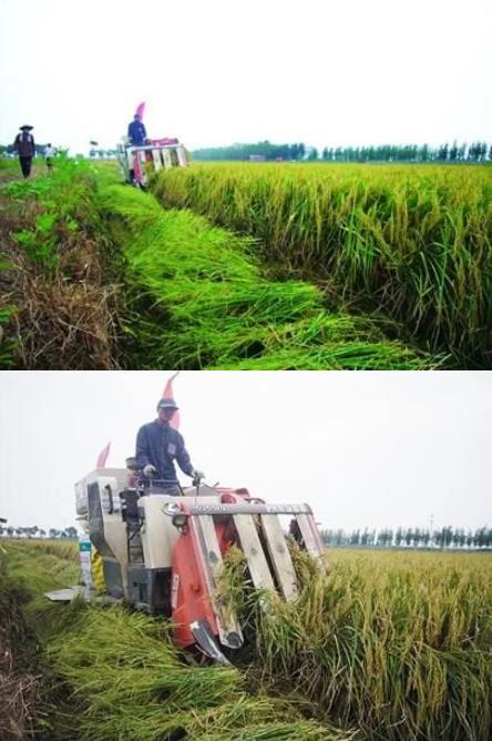 蓝村大米丰产 价格比普通米贵两倍
