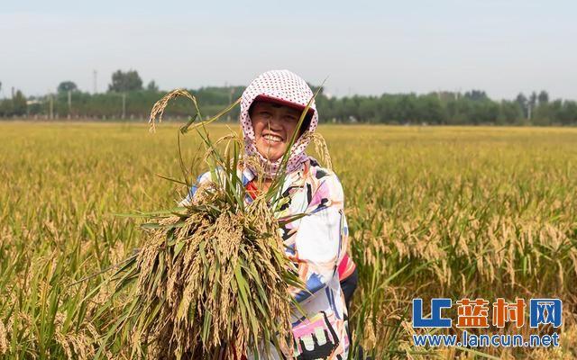 蓝村街道:千亩水稻喜获丰收