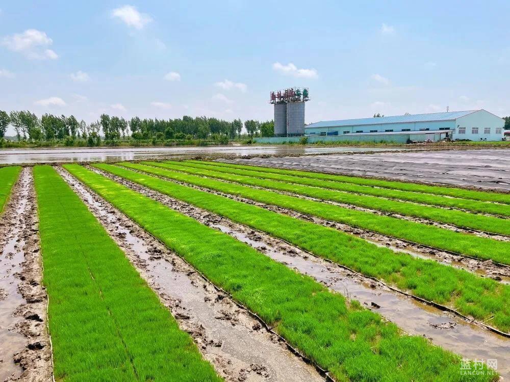 水稻插秧正当时