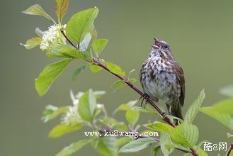 民歌的鸟儿