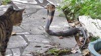 小猫大战小眼镜蛇