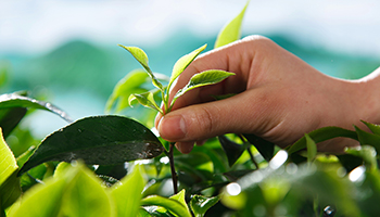 茶影响着中国文明进程